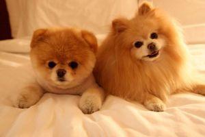 boo_pomeranian_dog_05
